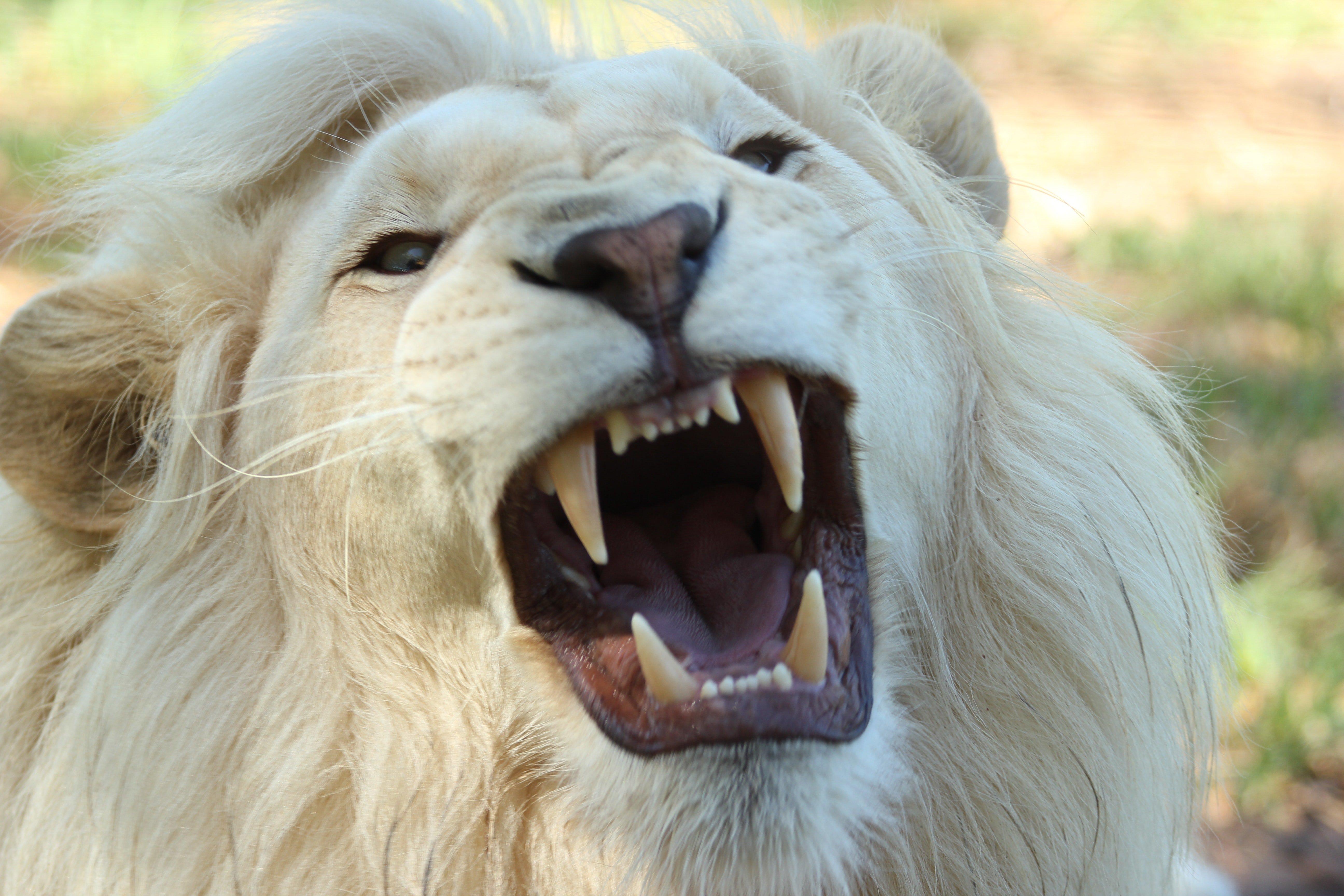 Lev zabiják