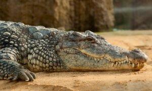 Krokodýl - tichý zabiják