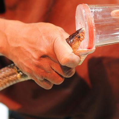Mezi nejnebezpečnější povolání patří dojič hadů